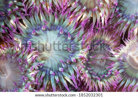 An aggregate of green and purple sea anemones with their tentacles open show that they are feeding. Shot in the Channel Islands of California. Stockfoto ©