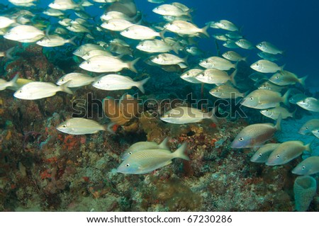 An aggregation of schooling grunts swims over a reef in Deerfield Beach Florida, reef is locally know as Crab Cove.