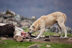 An aggressive, free-ranging dog eats caught by a farm animal. Dangerous stray animal. A big bad dog tears meat.