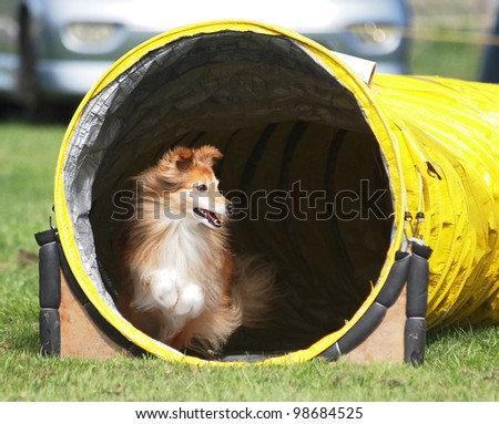 An Agility Sheltie coming out of a yellow tunnel