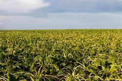 an agricultural field where sugar beet dries up due to lack of rain and irrigation, sluggish discolored beets and problems with obtaining a beet crop for sugar production at the enterprise