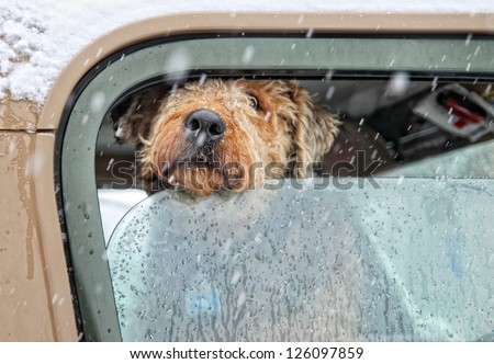 an airedale terrier in a car with the window rolled down