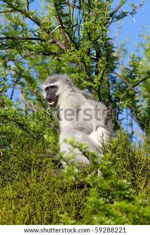 An alarmed vervet (green) monkey (Cercopithecus aethiops) in Mountain Zebra National Park, South Africa.
