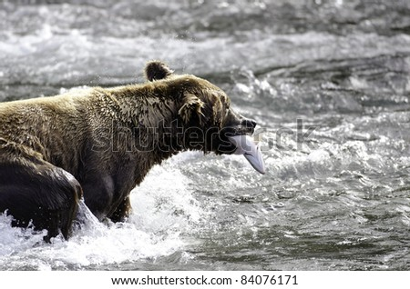 An Alaskan brown bear catches a salmon in the rapids of Brooks Falls