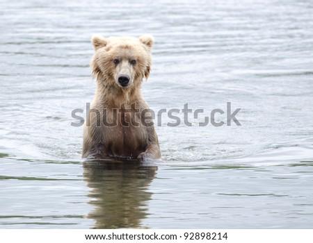 An Alaskan brown bear searching for salmon in a lake in Katmai National Park