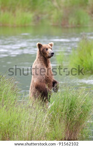 An Alaskan brown bear standing on its hind legs fishing for salmon in Katmai National Park