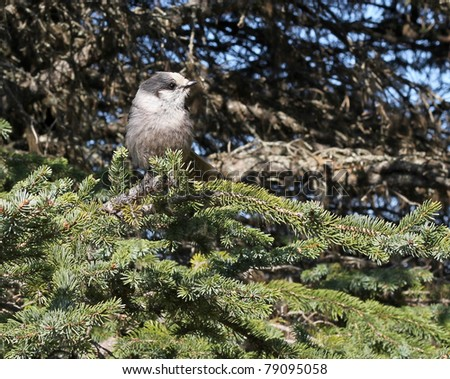 An Alaskan grey jay siting in a spruce tree