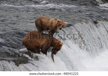 an alaskan grizzly catching a sockeye salmon on the famous brooks falls - stock photo