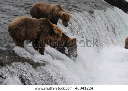 an alaskan grizzly catching a sockeye salmon on the famous brooks falls