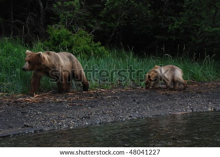 an alaskan grizzly mother and cub walking the shoreline