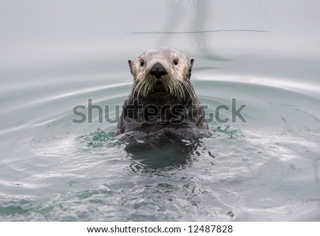 An Alaskan sea otter posing for the camera
