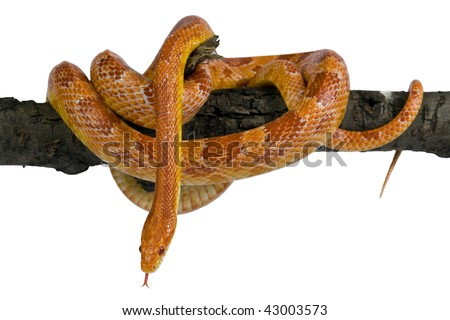 An albino corn snake  on a white background.