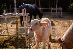 An albino cow, an albino buffalo, a cow, a buffalo, a albino calf is looking at me and his mother grazing in the zoo, in the middle of the field,