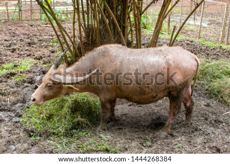 An albino Water buffalo. It is a large bovid originating in the Indian subcontinent, Southeast Asia, and China #1444268384