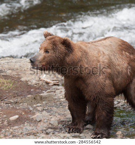 An alert brown bear watching intently as another brown bear approaches; looking to the left