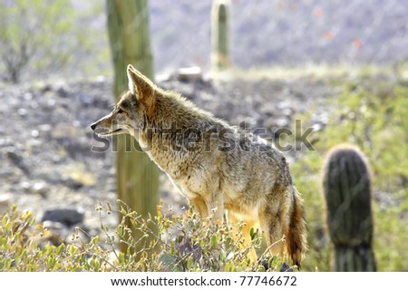 An alert coyote in the desert southwest