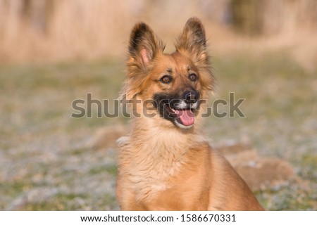 An alert sandy coloured dog
