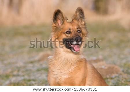 An alert sandy coloured dog