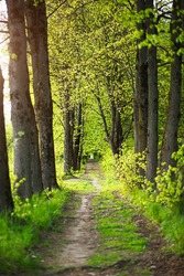 An alley of trees with young, fresh spring foliage. Naturalness, ecology, springtime. Copy space, background