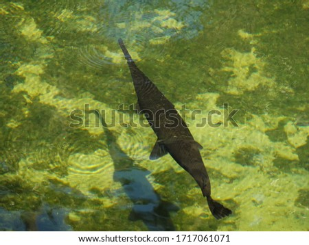 An alligator gar (Atractosteus spatula) breaching the surface of the water Photo stock ©