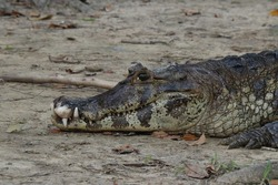 an alligator in the Bolivian Amazon River