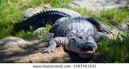 An alligator in wild, a crocodilian in the genus Alligator of the family Alligatoridae. The two living species are the American alligator and the Chinese alligator.