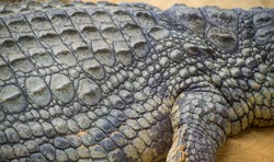 An alligator is a crocodilian in the genus Alligator of the family Alligatoridae,  close up texture of alligator skin