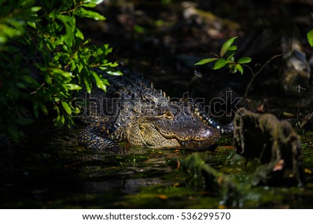 An alligator is a crocodilian in the genus Alligator of the family Alligatoridae. The two living species are the American alligator and the Chinese alligator.  #536299570