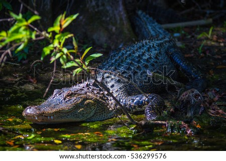 An alligator is a crocodilian in the genus Alligator of the family Alligatoridae. The two living species are the American alligator and the Chinese alligator.  #536299576