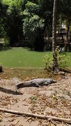 An alligator resting on the land
