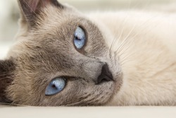An alluring close up photograph of a siamese cat relaxing as you are drawn into her eyes.