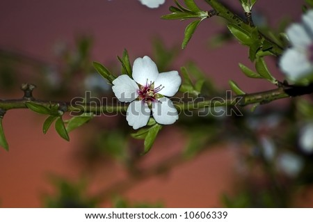 An almond blossom at sunset in an orchard.