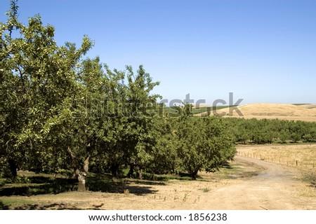 An almond orchard landscape.