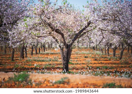 An almond tree flowering during the begin of spring in Santa Ines de Sa Corona on the Island of Ibiza Foto stock ©