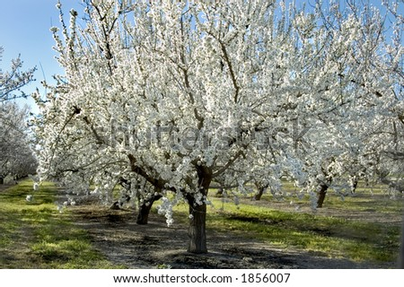 An almond tree in bloom.