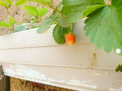 an almost ripe strawberry on the plant