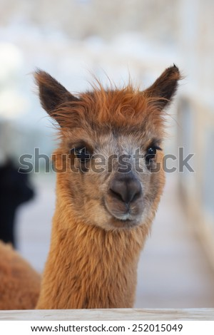 An alpaca (Vicugna pacos) is a domesticated species of South American camelid. It resembles a small llama in appearance #252015049