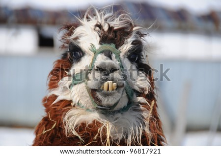An alpaca (Vicugna pacos) is a domesticated species of South American camelid. It resembles a small llama in appearance #96817921