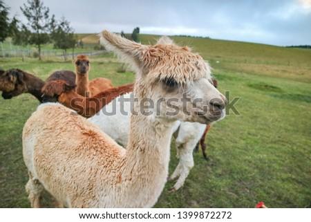 An Alpacas on the farm  #1399872272