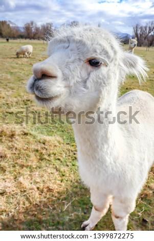 An Alpacas on the farm