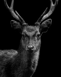 An alpha deer in the black background