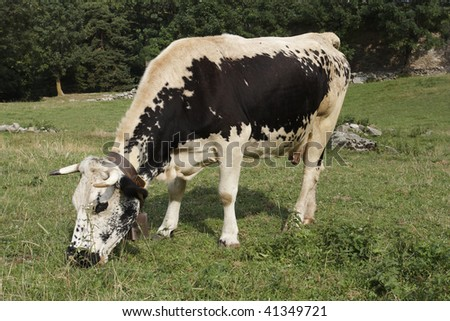An Alpine cow with cow bell grazing