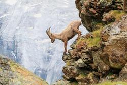 An alpine goat descends a cliff of a mountain in the Swiss Alps one summer morning in Zermatt, Switzerland