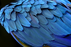 An amazing blue background of puffy bird feathers, the fascinated Yellow and Blue macaw bird's wing texture