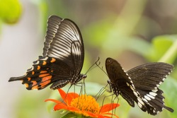 An amazing close up side view of beautiful Common Mormon (Papilio polytes) butterfly male female pair, seated on the flower, in a blurred background with beautiful pattern, Bankura, West Bengal, India