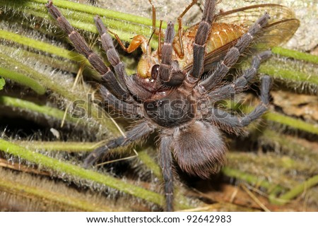 An amazing encounter! A Tarantula catches and eats a Cicada in the Peruvian Amazon!