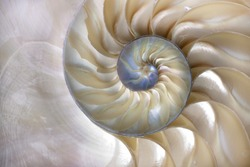 An amazing fibonacci pattern in a nautilus shell