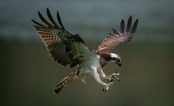 An amazing picture of an osprey or sea hawk trying to hunt