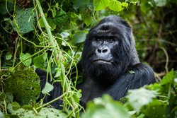An amazing portrait of an endangered silverback mountain gorilla in wilderness