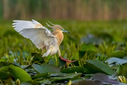 An amazing wild aquatic bird Squacco heron (Ardeola ralloides) in breeding plumage lands to the surface with a lot of aquatic vegetation in its natural habitat in the Danube Delta in Romania.